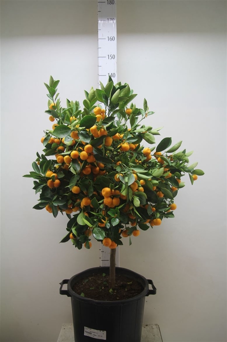 <h4>Citrus Calamondin Stam Xl</h4>
