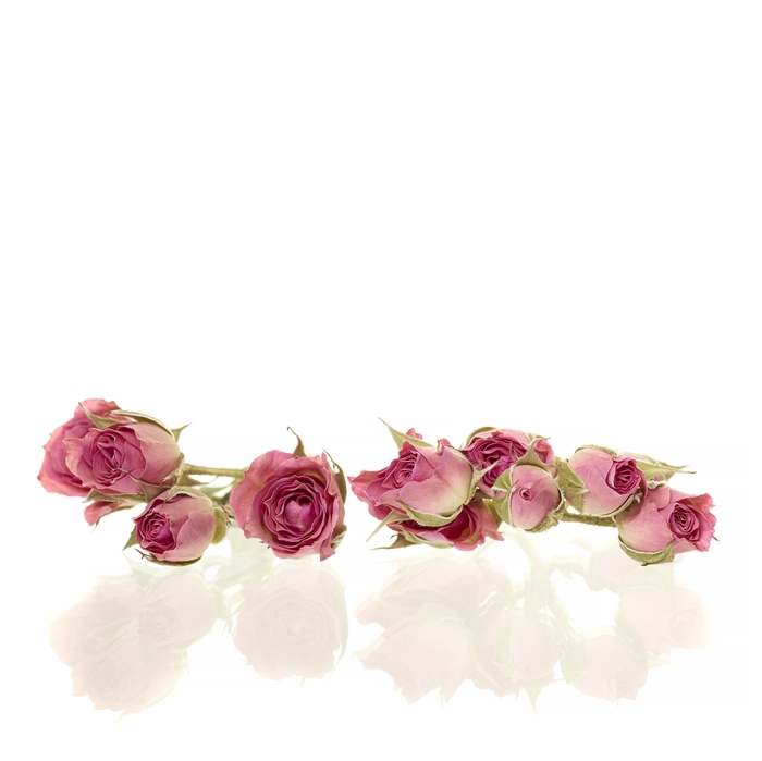 <h4>Sprayroses 20pc bright pink</h4>