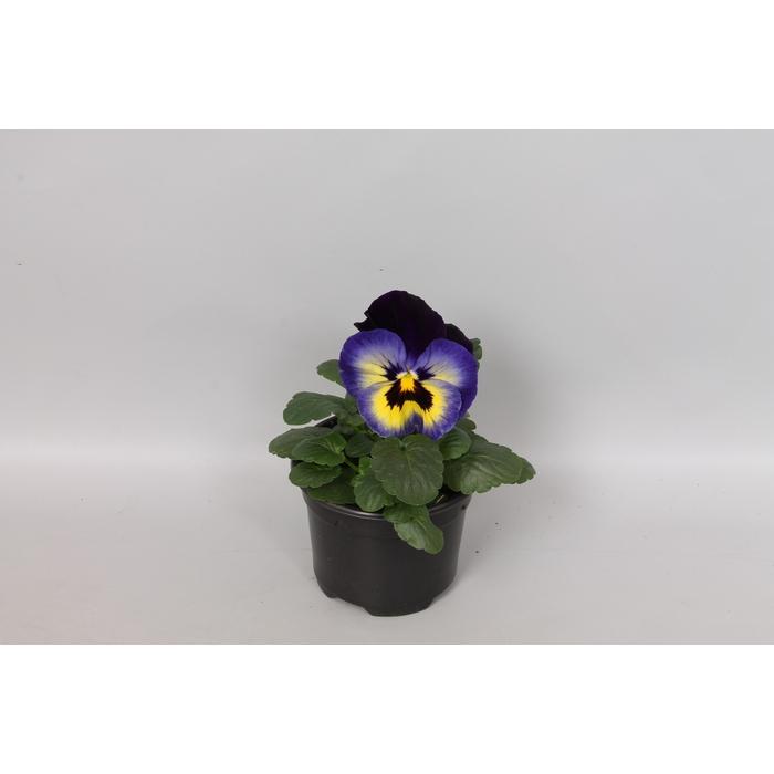 <h4>Viola wittrockiana F1 Midnight glow</h4>