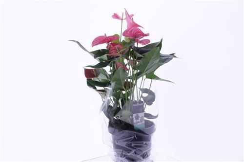 <h4>Anthurium Maine</h4>