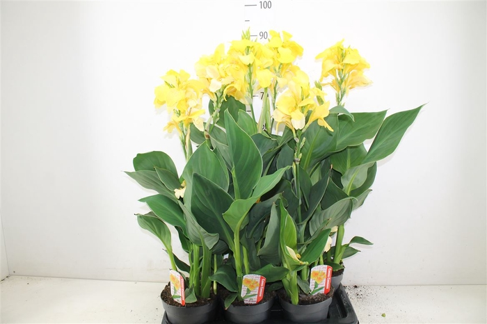 <h4>Canna Can Yellow</h4>