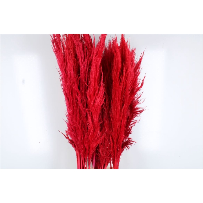 <h4>Cortaderia Red Extra</h4>