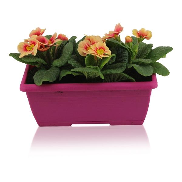 <h4>Primula Acaulis in Roze Duobakje</h4>