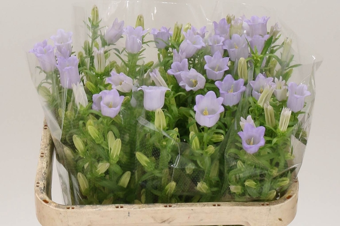<h4>Campanula M Champion Lavendel</h4>