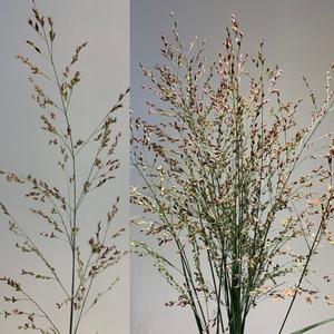 Grasses - Panicum Fountain Heavy Metal