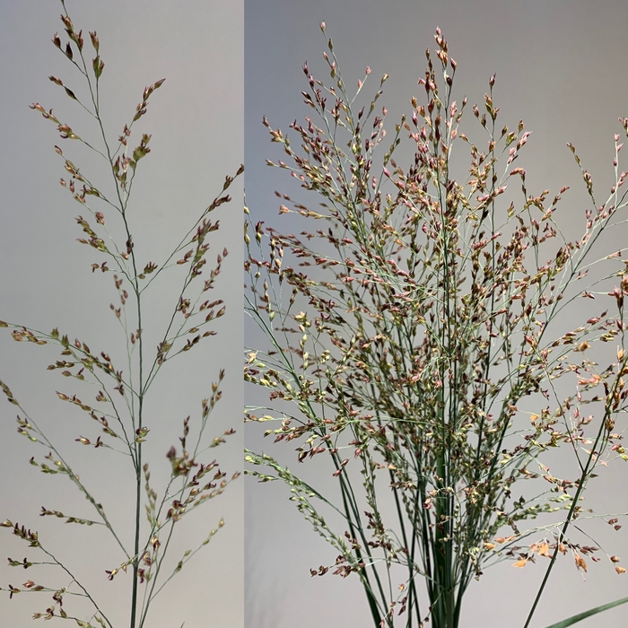 <h4>Grasses - Panicum Fountain Heavy Metal</h4>