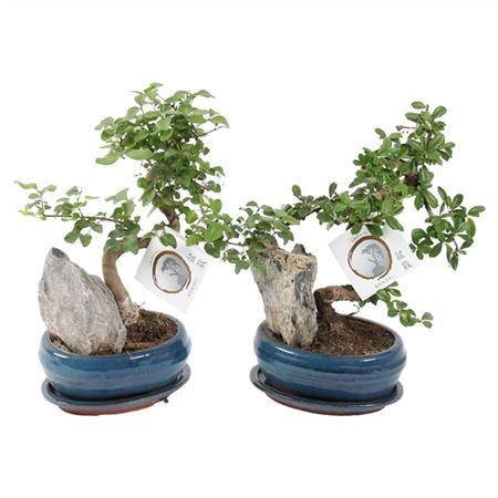 <h4>Bonsai A1160001 Gemengd Keramiek</h4>