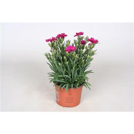 <h4>Dianthus Caryophyllus ' Amy'</h4>