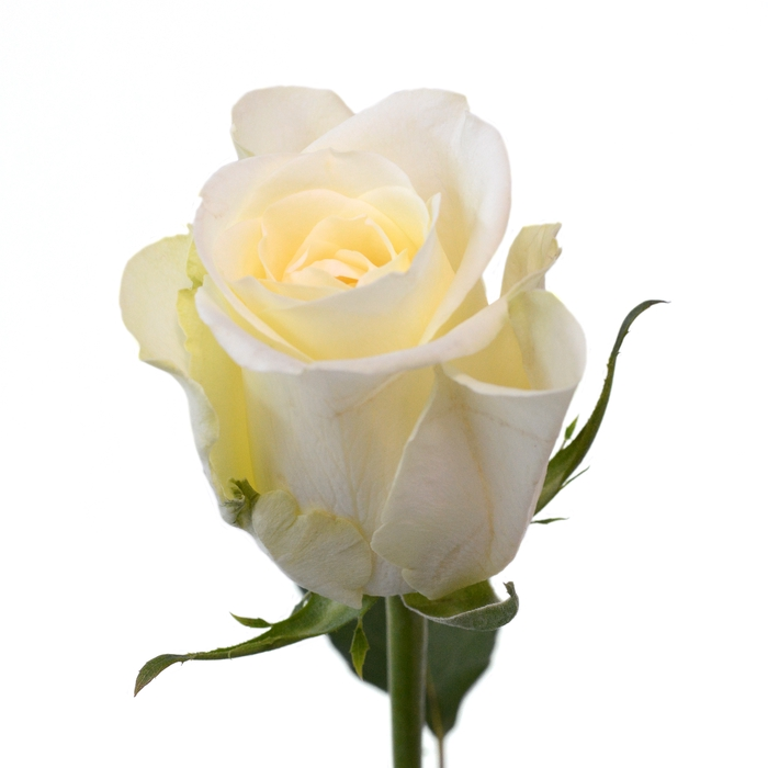 <h4>Rose Pegasso</h4>