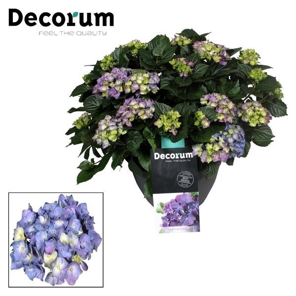 <h4>Hydrangea Blue in sierpot 20+ kop (Decorum)</h4>