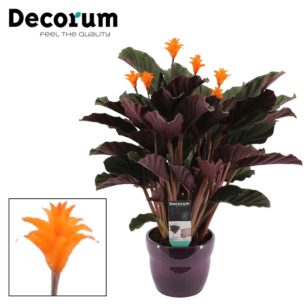<h4>Calathea Crocata Candela 5/6 in paars bolpot DECORUM</h4>