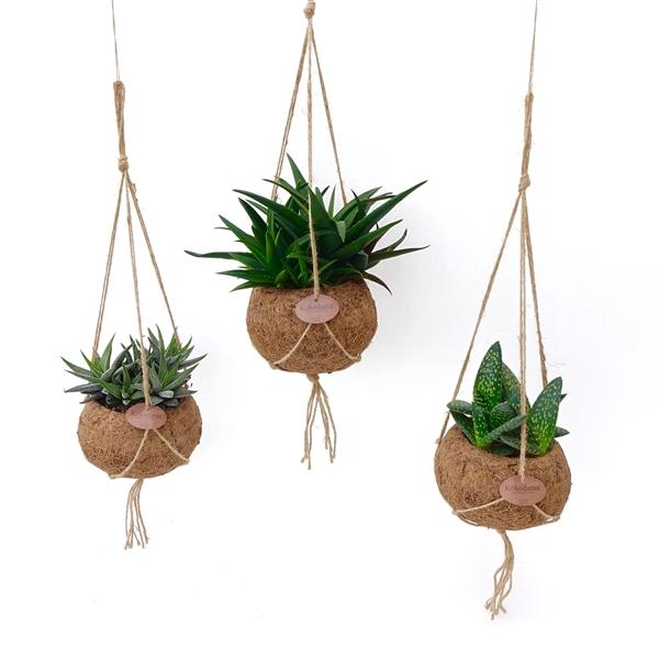 <h4>Kokodama 15 cm Aloe mix</h4>