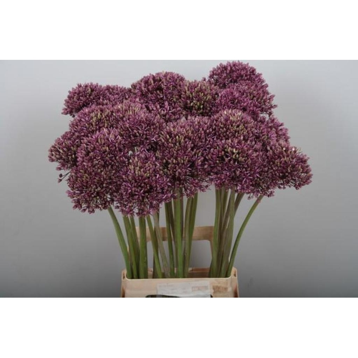 <h4>Allium Miami</h4>