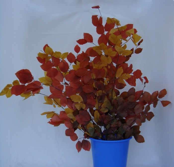 <h4>STABILISED BEECH AUTUMN MIX 200 GR</h4>