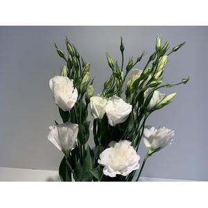 Lisianthus White (Farm Fresh) p/bunch)