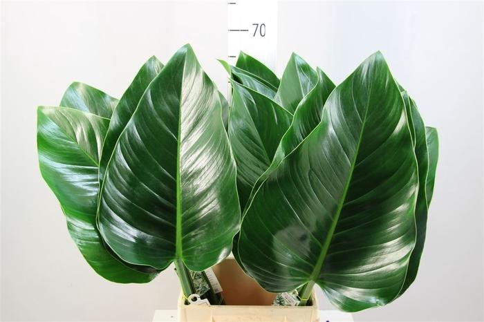 <h4>Philodendron Congo Groen</h4>