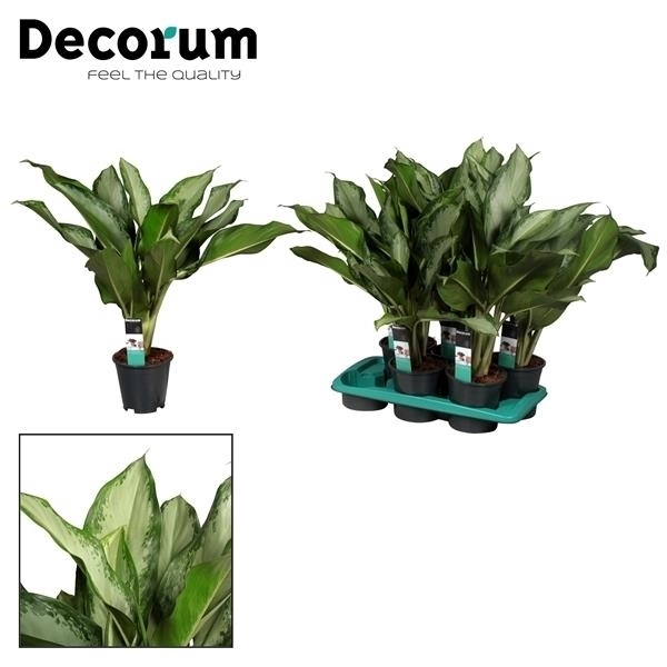 <h4>Aglaonema Cleopatra (Decorum)</h4>