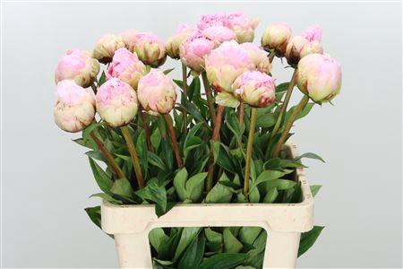 <h4>Paeonia Pillow Talk Pale Pink</h4>