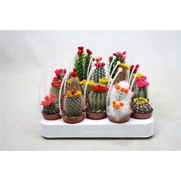 <h4>Cactus versierd Kleine strobloemen, met picker</h4>