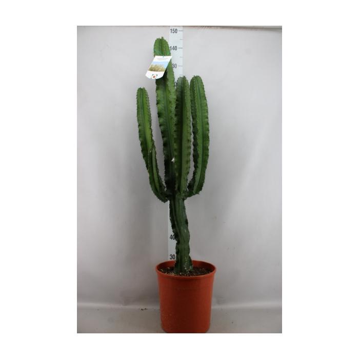 <h4>Euphorbia   ...</h4>
