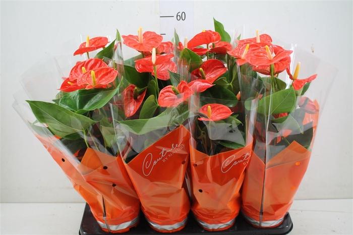 <h4>Anth An Sierra Orange</h4>