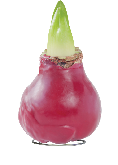 <h4>WAX AMARYLLIS Touch of Fashion Velvet Red</h4>