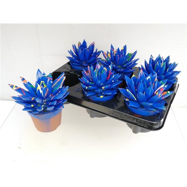 <h4>Echeveria coloured Splash dark blue</h4>