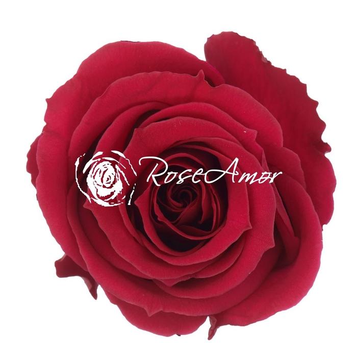 <h4>PRESERVED ROSA MINI WARMI PIN 05</h4>