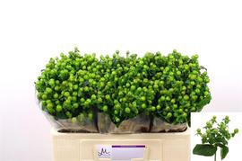 Hypericum .Green