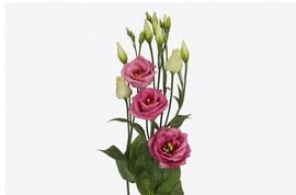 <h4>Lisianthus Rosita Pink</h4>