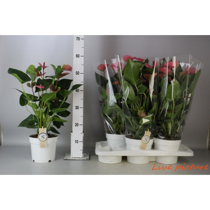 <h4>Anthurium Andr. Pink Champion</h4>