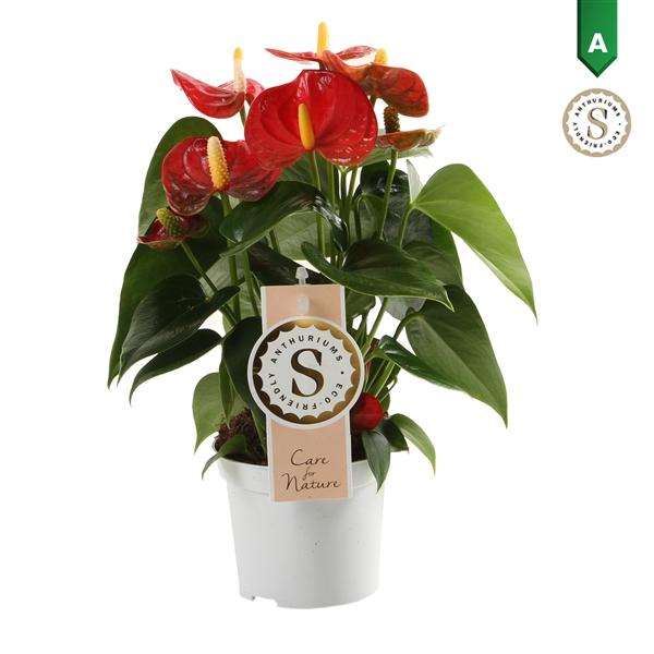 <h4>Anthurium Red Champion 9cm</h4>