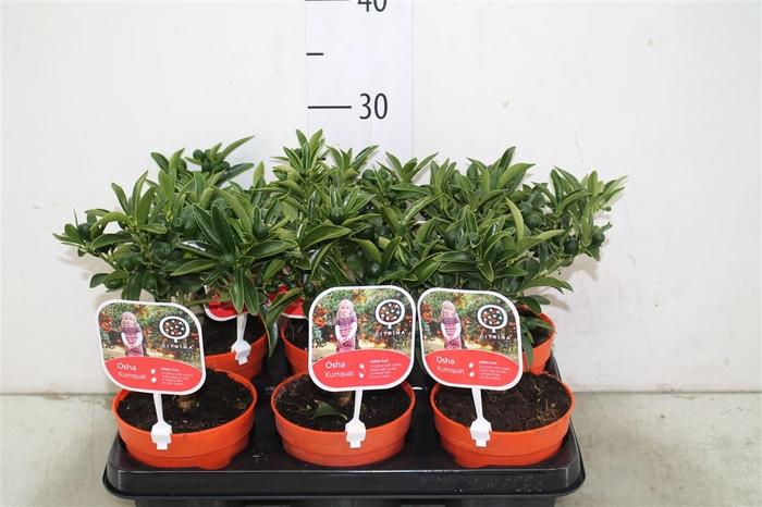 <h4>Citrus Kumquat Mini Stam</h4>