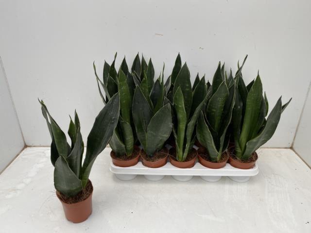 <h4>Sansevieria trif. overig</h4>