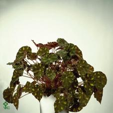 Begonia Boweri Tiger 6Ø 15cm