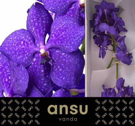 <h4>Vanda Royal Blue</h4>