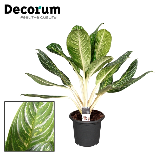 <h4>Aglaonema Keylime in deco pot (Decorum)</h4>
