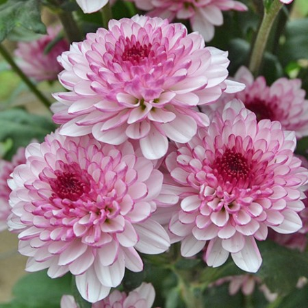 Chrysanthemum monoflor lollipop rosa