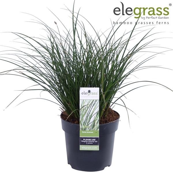 <h4>Carex brunnea Variegata - Elegrass</h4>