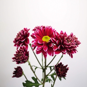 Chrysanthemum spray bacardi harlequin