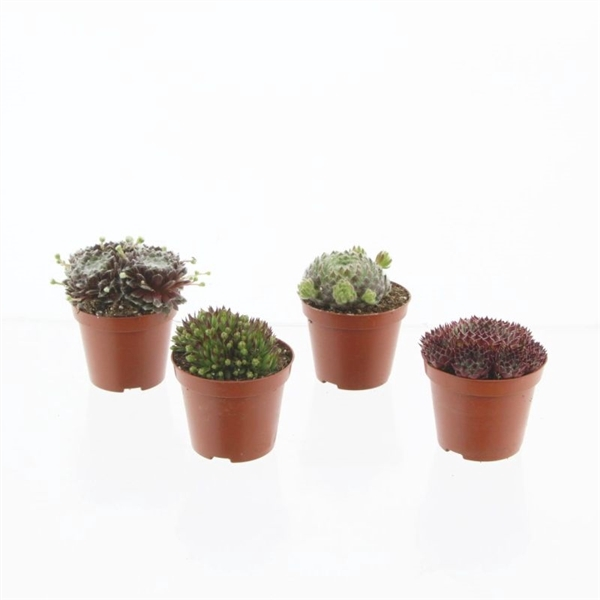 <h4>Sempervivum mix</h4>