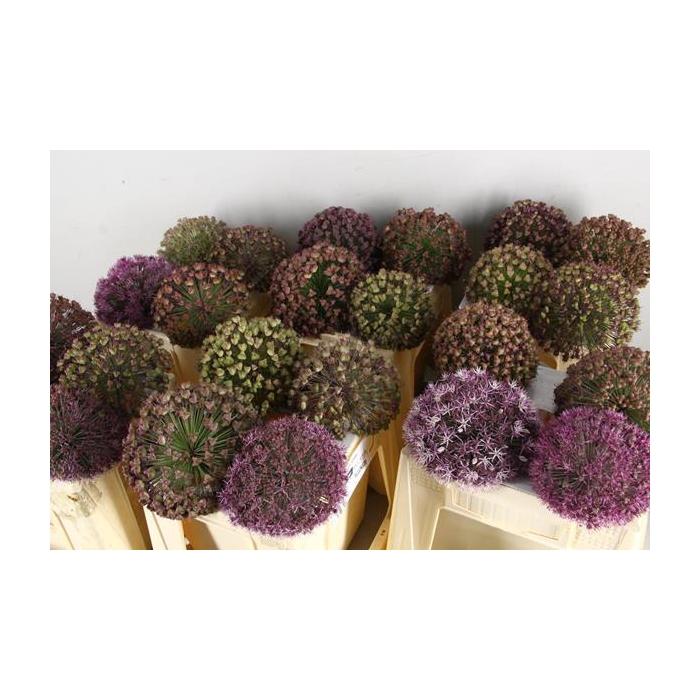<h4>Allium Le Nouveau Globe</h4>