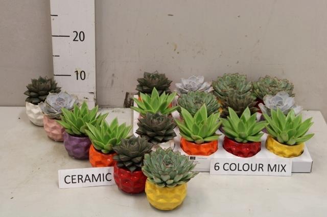 <h4>Vetplants arranmixent 6% 7Ø 8cm</h4>