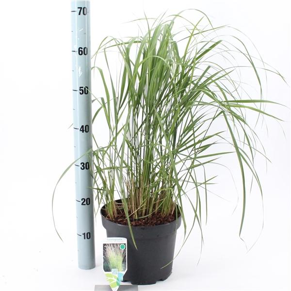 <h4>Calamagrostis acutiflora 'Karl Foerster'</h4>