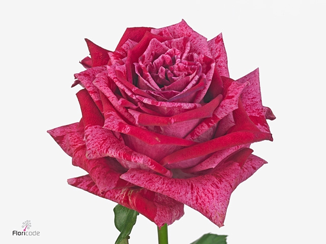Rosa large flowered Crazy Eye