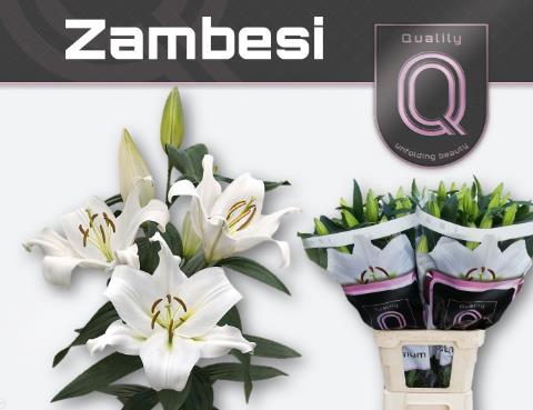 <h4>Lilium (OT-hybrids Grp) 'Zambesi'</h4>
