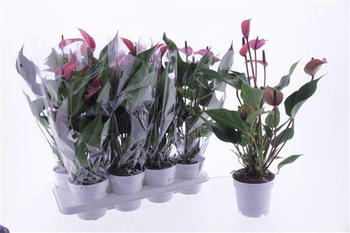 <h4>Anthurium Cherry Champion</h4>