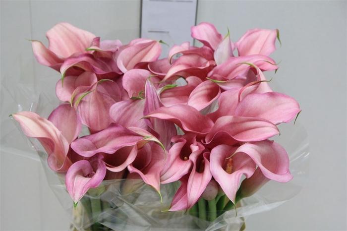 <h4>Zant Pink Design</h4>