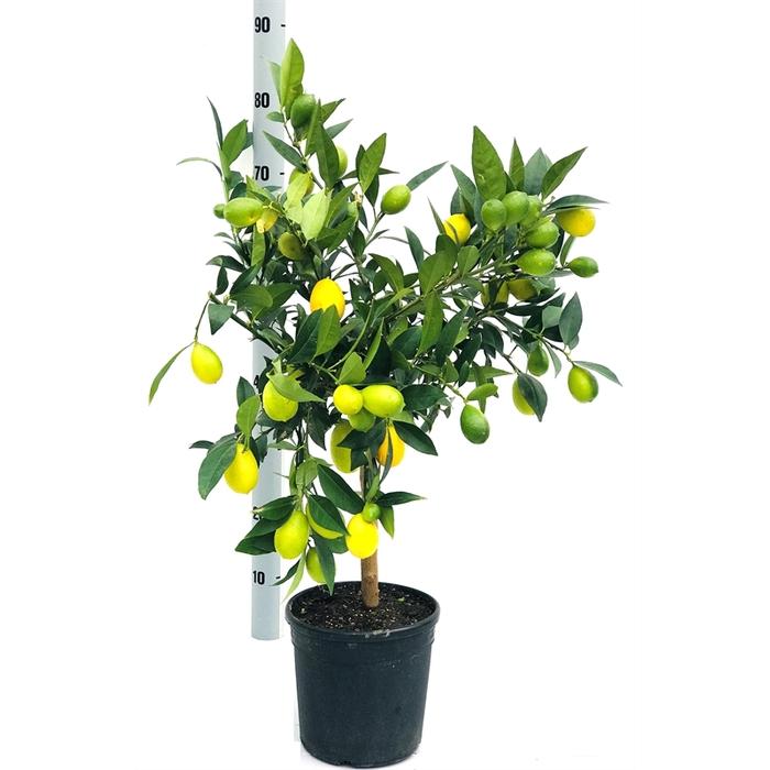 <h4>Limequat op stam</h4>