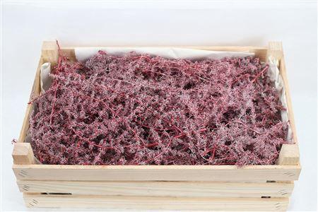 <h4>Wax Asparagus Red P Box</h4>
